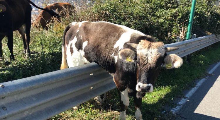 mucca salerno